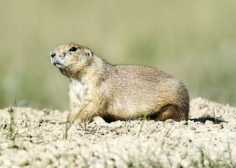 Ana-Prairie-dog-1
